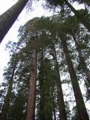 MSK Yosemite Tree