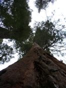 MSK Yosemite Tree 3