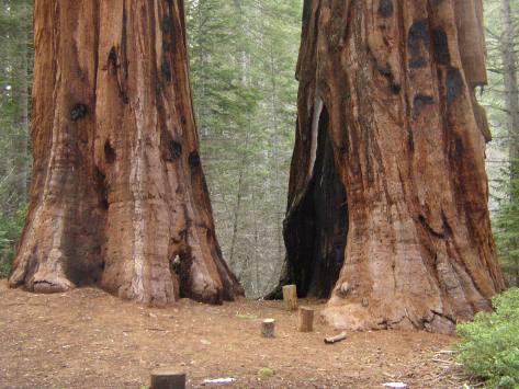 MSK Yosemite Tree 5